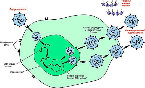 Вирус герпеса в организме человека